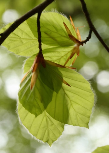 Beech Leaves-Epping Forest banner-2nd image