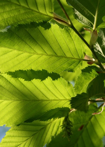 Hornbeam leaves-Epping Forest banner-3rd image