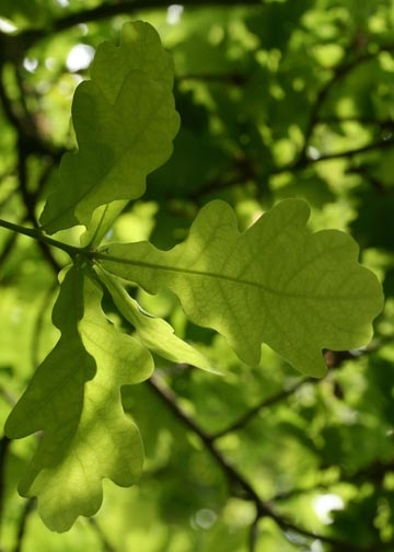 Oak leaves-Epping Forest banner-5th image