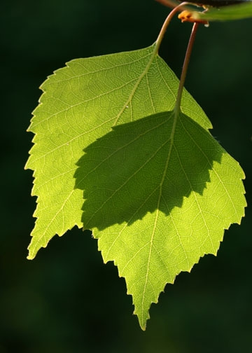 Silver Birch leaves-Epping Forest banner-1st image